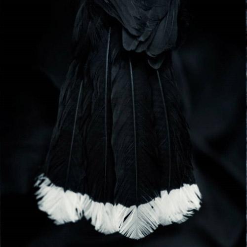 Fiona Pardington: Ake Ake Huia Image