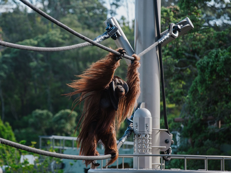https://rfacdn.nz/corporate/assets/media/auckland-zoo-orangutans-aerial-pathways-gallery.jpg