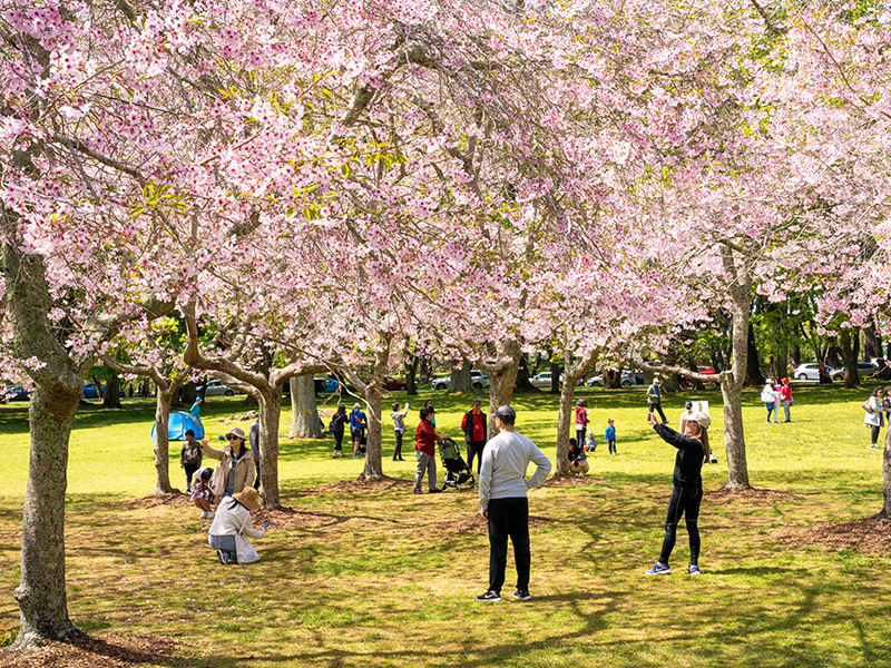 https://rfacdn.nz/corporate/assets/media/study-work-live-gallery-cherry-blossom-in-cornwall-park-auckland-2.jpg