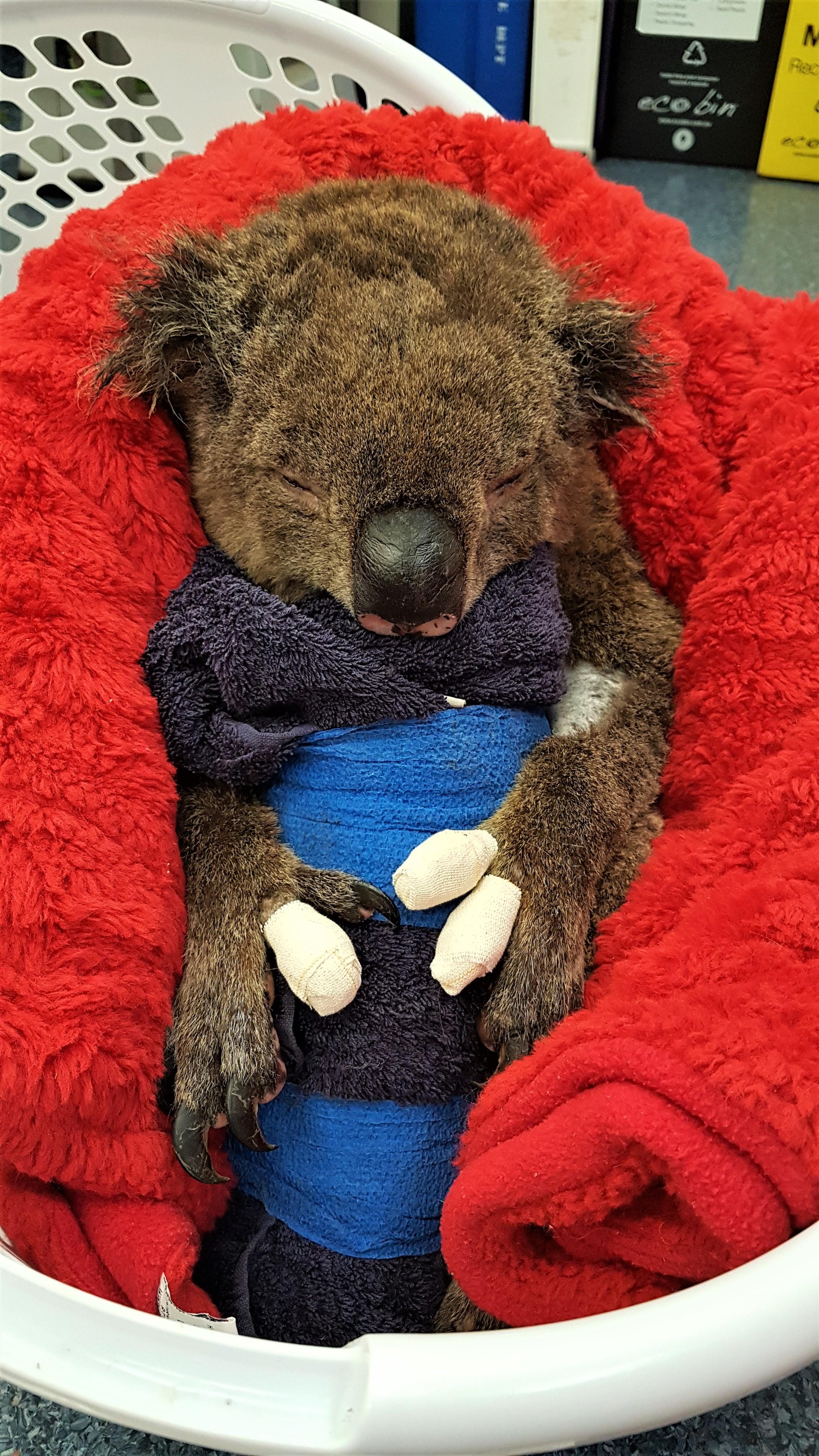 https://rfacdn.nz/zoo/assets/media/20200209-135209-koala-in-basket-in-blanket.jpg