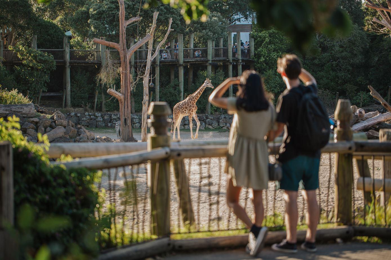 https://rfacdn.nz/zoo/assets/media/auckland-zoo-lates-giraffejpg.jpg