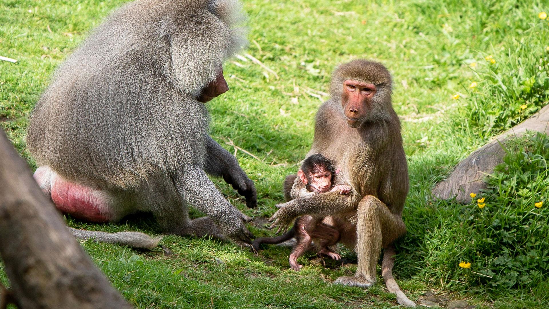 https://rfacdn.nz/zoo/assets/media/baboon-baby-gallery-1.jpg