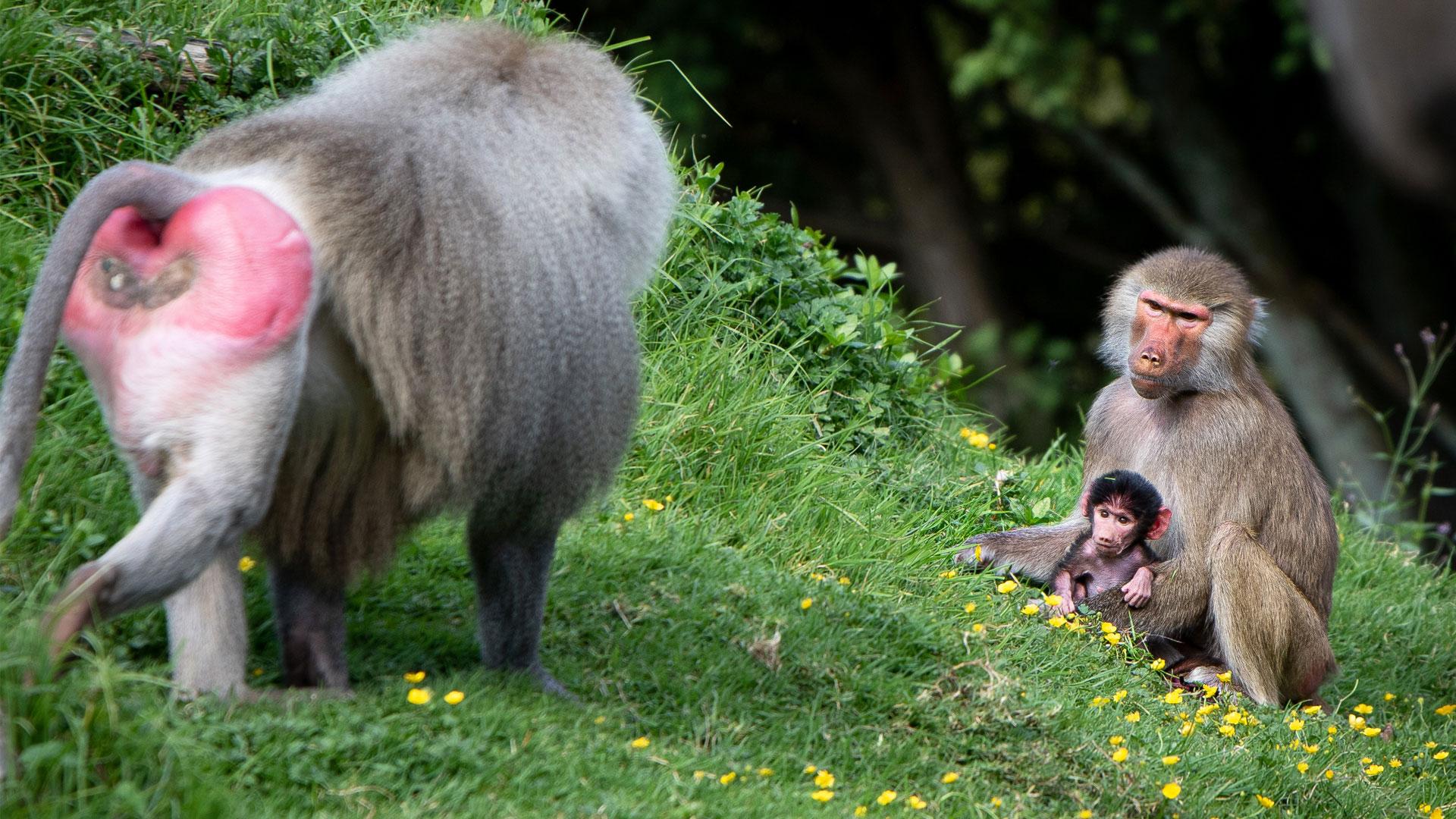 https://rfacdn.nz/zoo/assets/media/baboon-baby-gallery-2.jpg