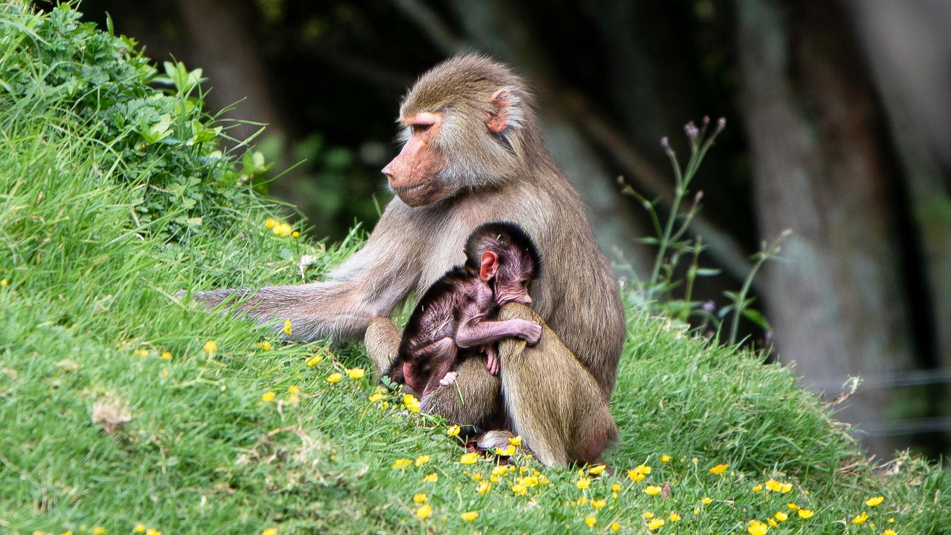 https://rfacdn.nz/zoo/assets/media/baboon-baby-gallery-3.jpg