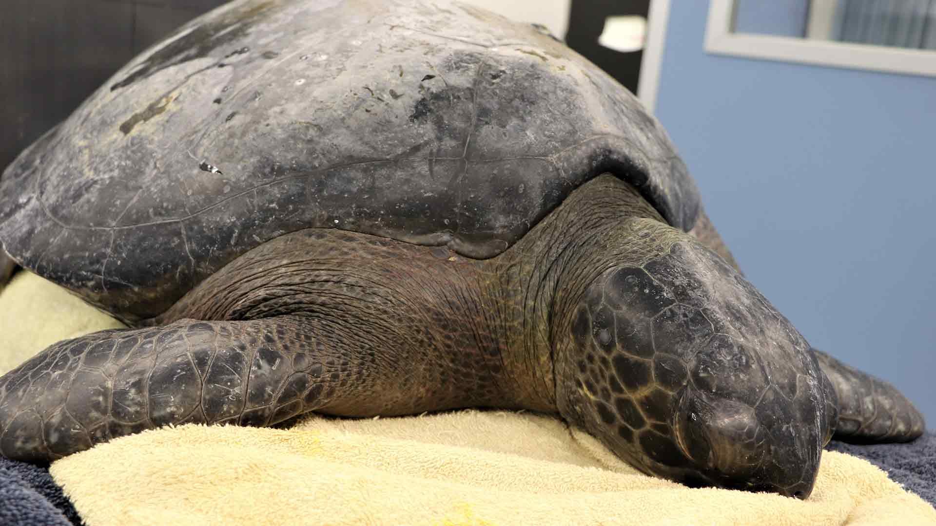 https://rfacdn.nz/zoo/assets/media/black-sea-turtle-gallery-3.jpg