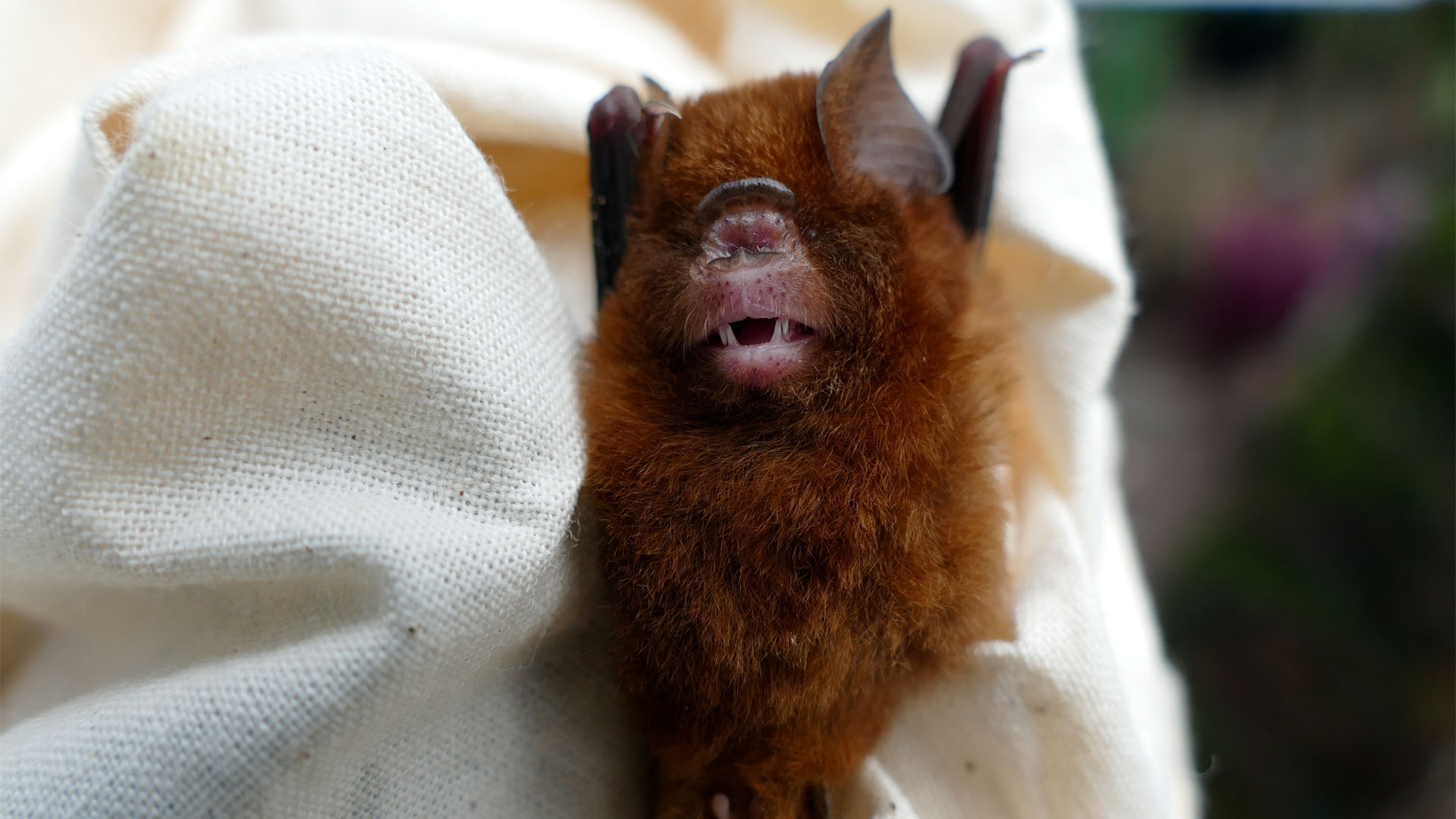 https://rfacdn.nz/zoo/assets/media/bougainville-bat-gallery-3.jpg