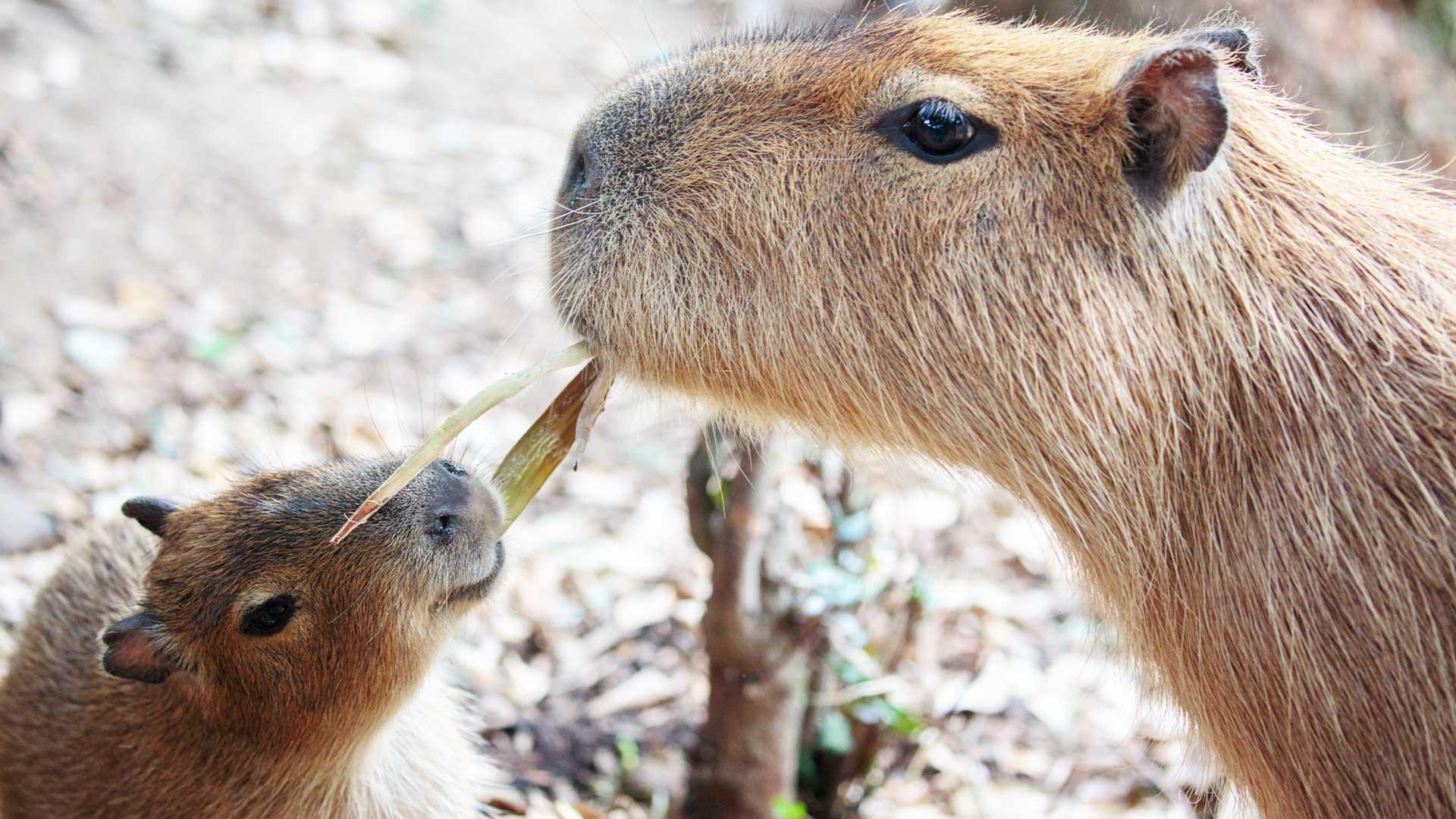https://rfacdn.nz/zoo/assets/media/capybara-gallery-2.jpg