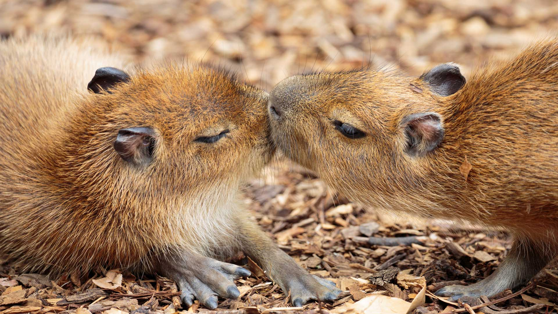https://rfacdn.nz/zoo/assets/media/capybara-gallery-3.jpg