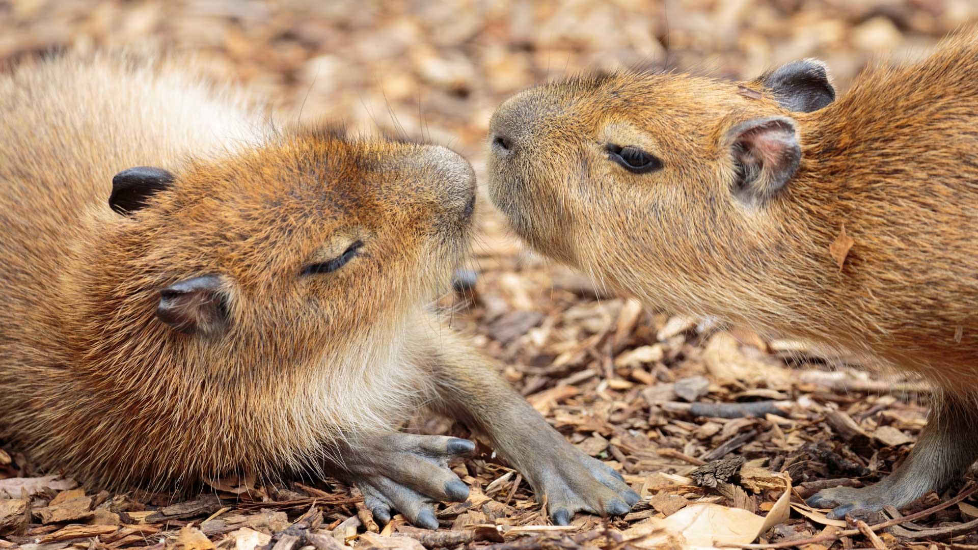 https://rfacdn.nz/zoo/assets/media/capybara-gallery-4.jpg