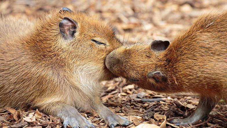 https://rfacdn.nz/zoo/assets/media/capybara-pups-valentines-rectangle.jpg