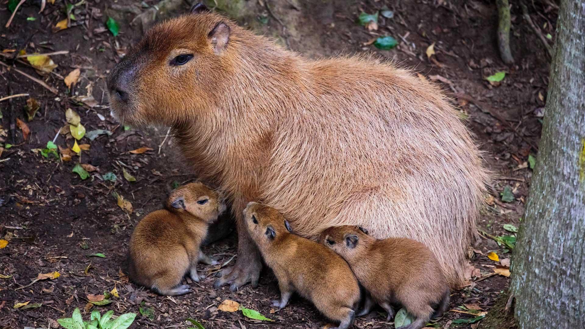 https://rfacdn.nz/zoo/assets/media/capybara-with-pups-gallery-1.jpg
