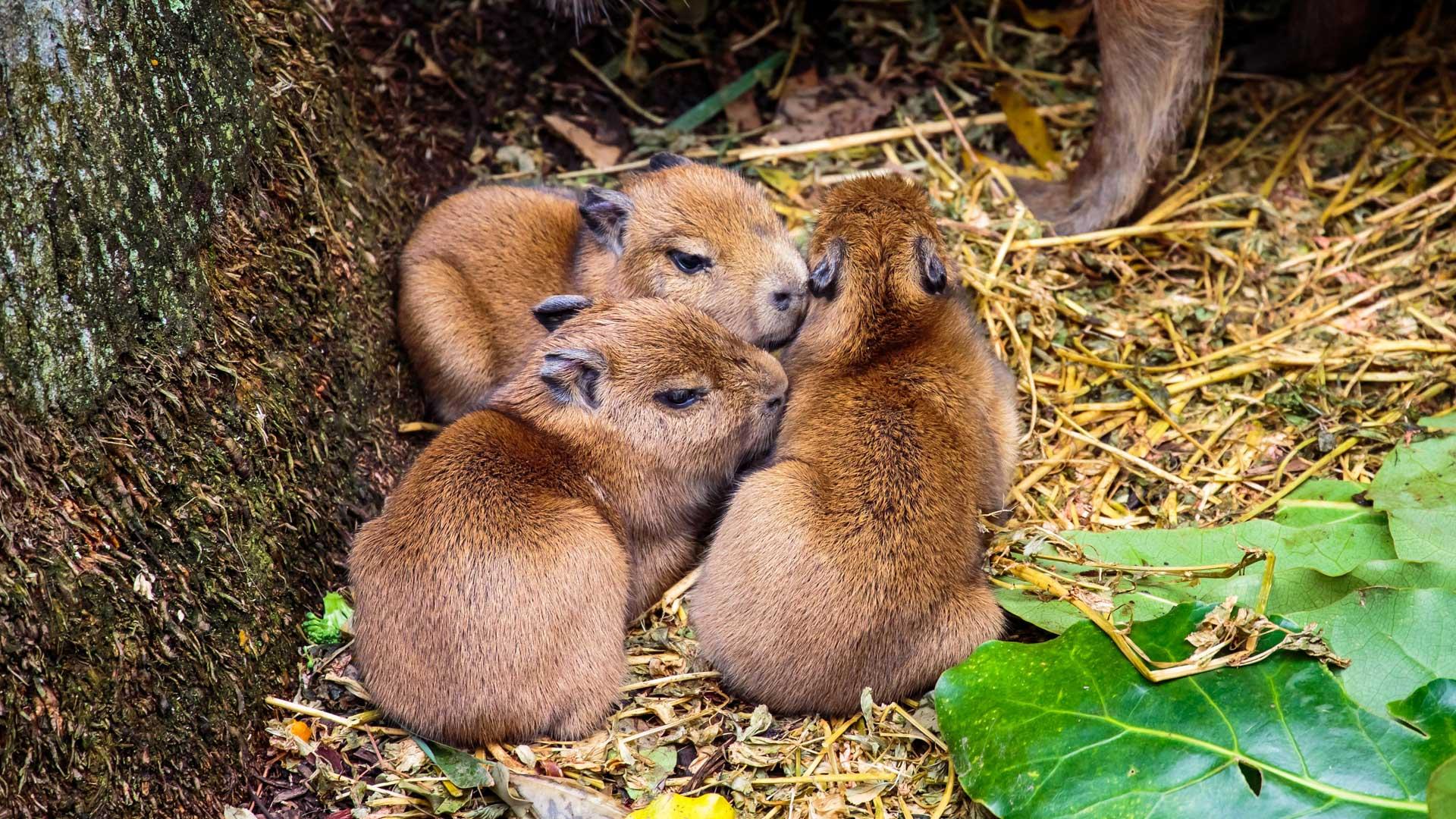 https://rfacdn.nz/zoo/assets/media/capybara-with-pups-gallery-2.jpg