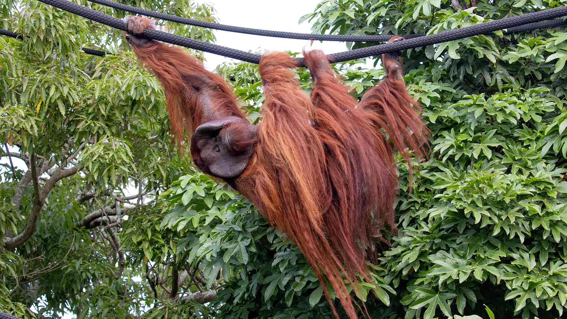 https://rfacdn.nz/zoo/assets/media/charlie-orangutan-sea-animal-pages-2.jpg