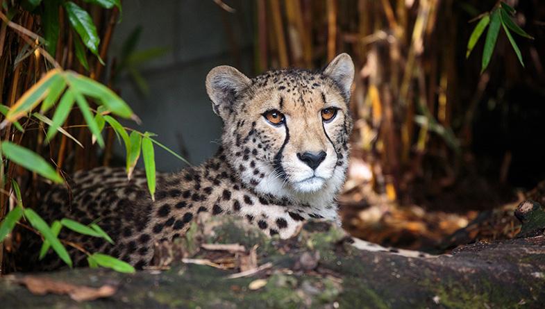 https://rfacdn.nz/zoo/assets/media/cheetah-girl-rectangle.jpg