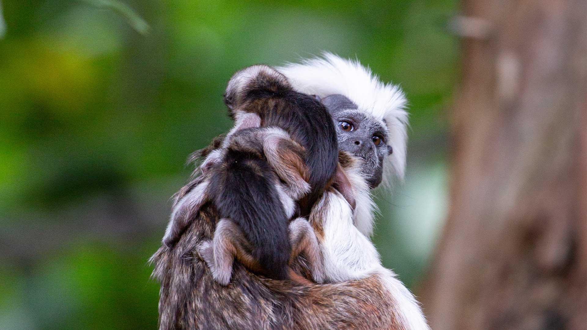 https://rfacdn.nz/zoo/assets/media/cotton-top-babies-gallery-1.jpg