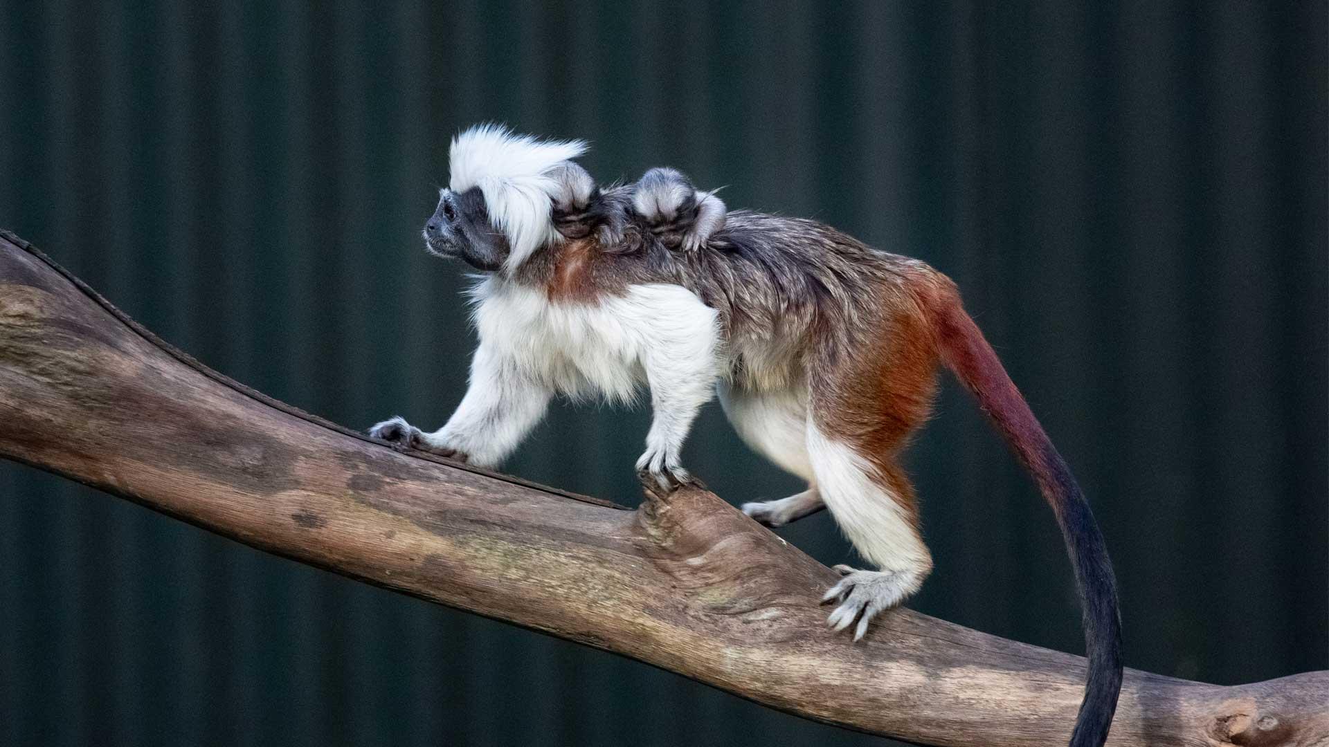 https://rfacdn.nz/zoo/assets/media/cotton-top-babies-gallery-4.jpg