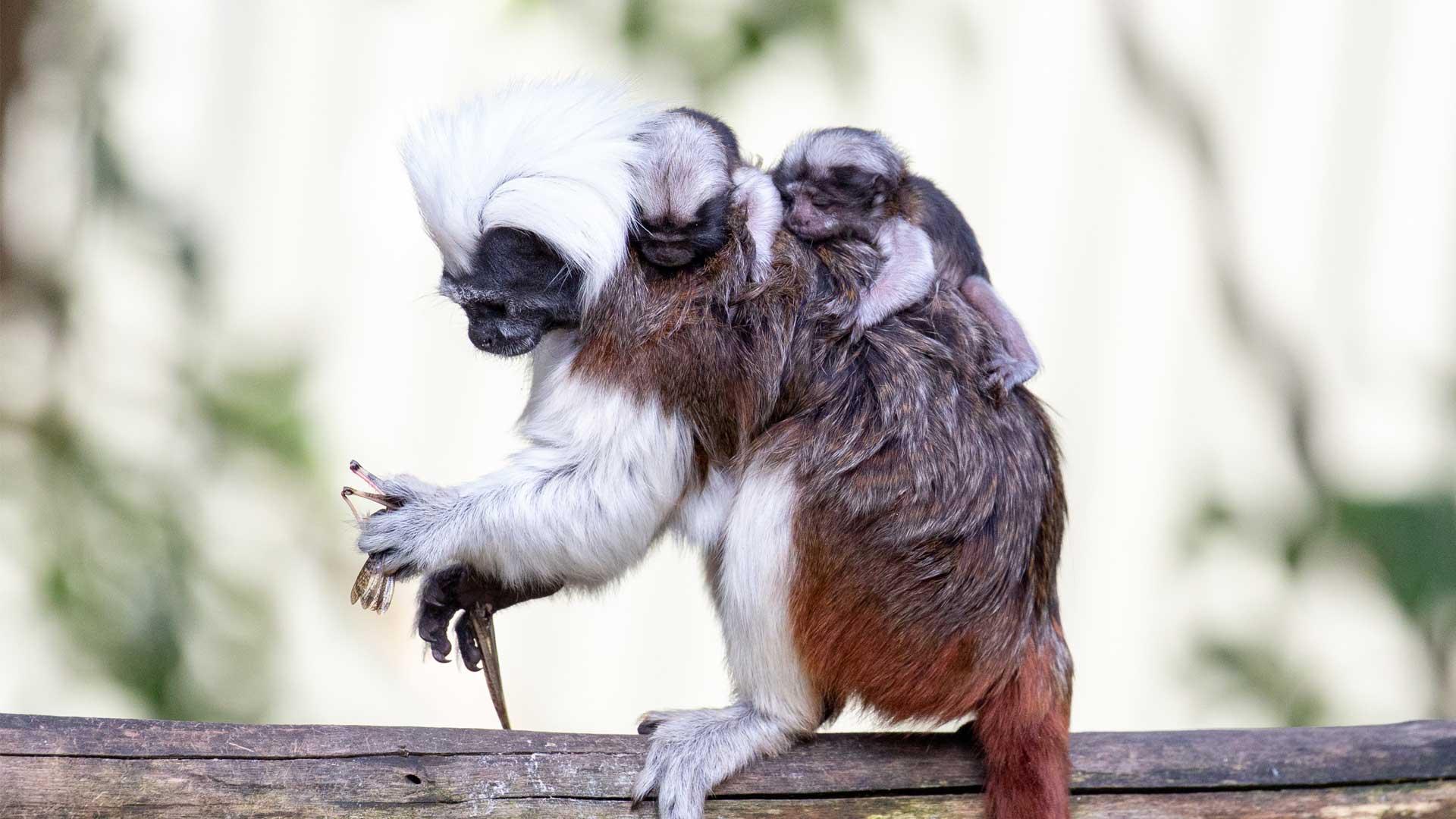 https://rfacdn.nz/zoo/assets/media/cotton-top-babies-gallery-5.jpg