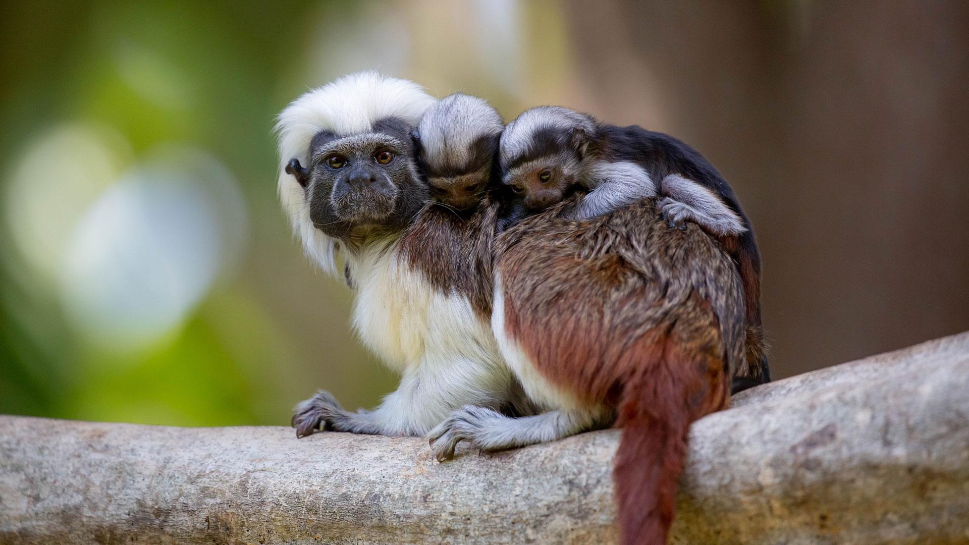 https://rfacdn.nz/zoo/assets/media/cotton-top-twins-gallery-4.jpg