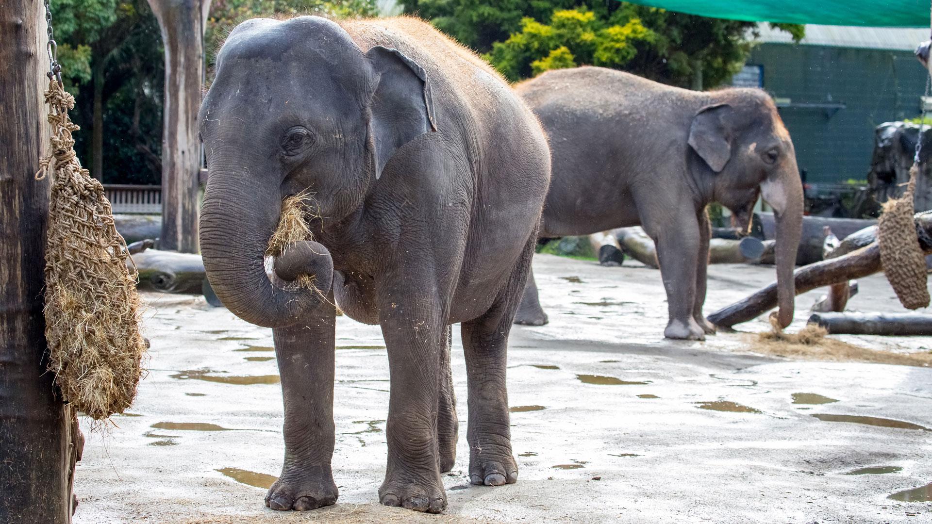 https://rfacdn.nz/zoo/assets/media/elephant-news-gallery-14.jpg