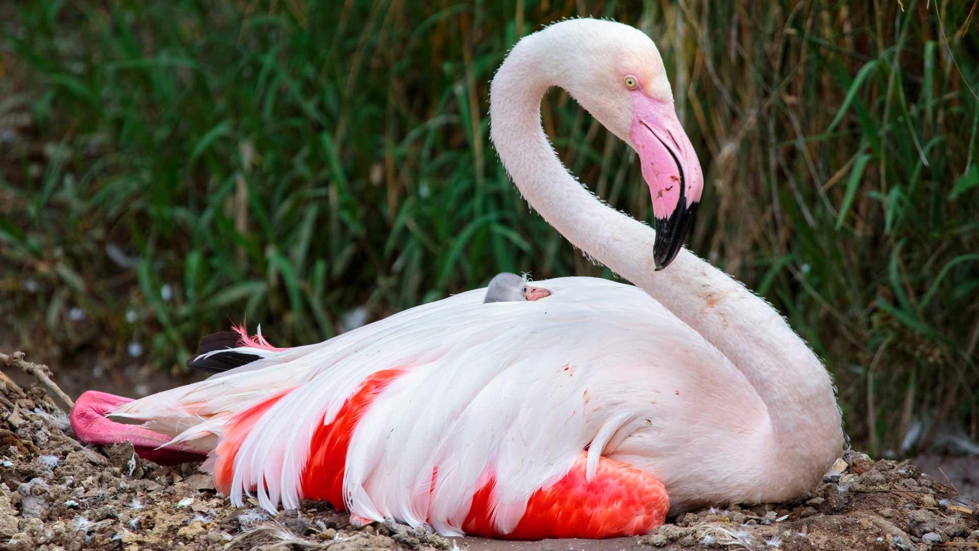 https://rfacdn.nz/zoo/assets/media/flamingo-chick-jan-2018-gallery-1.jpg
