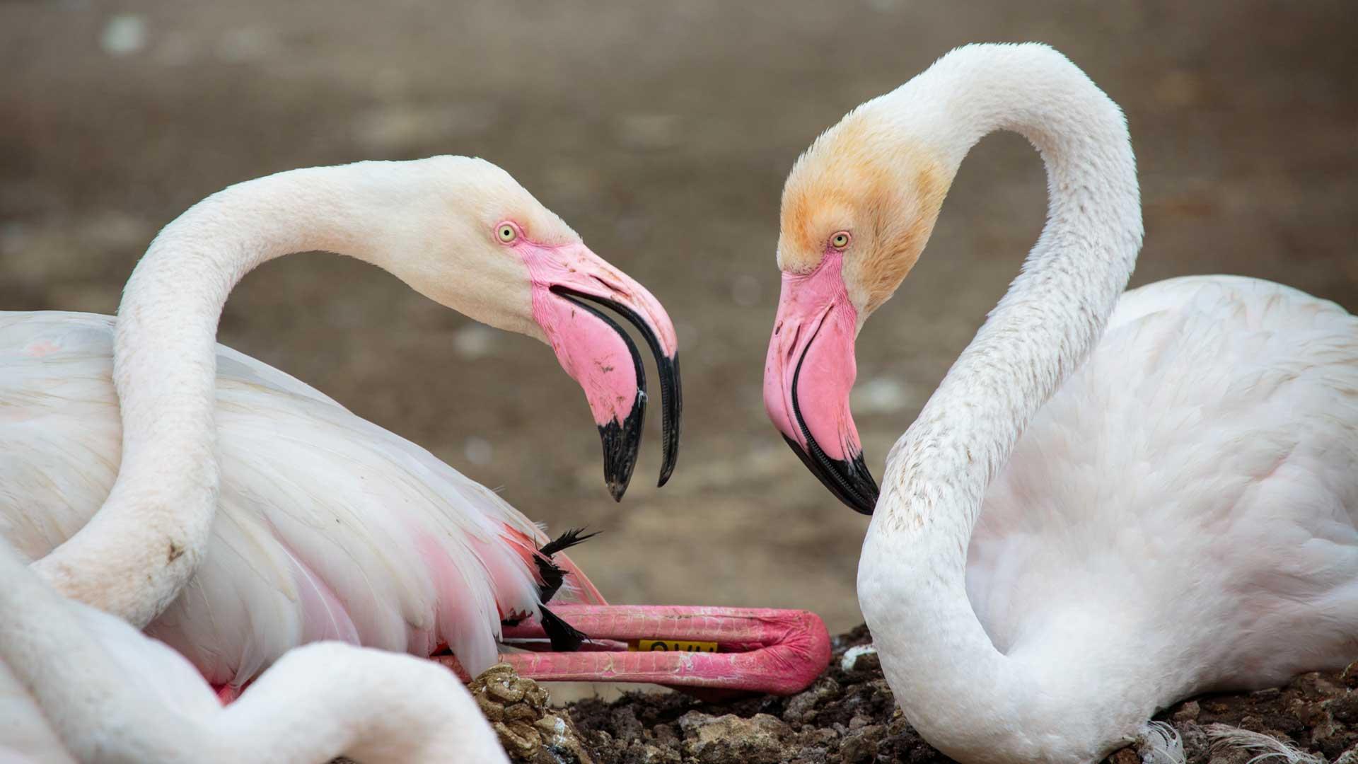 https://rfacdn.nz/zoo/assets/media/flamingo-chick-jan-2018-gallery-5.jpg
