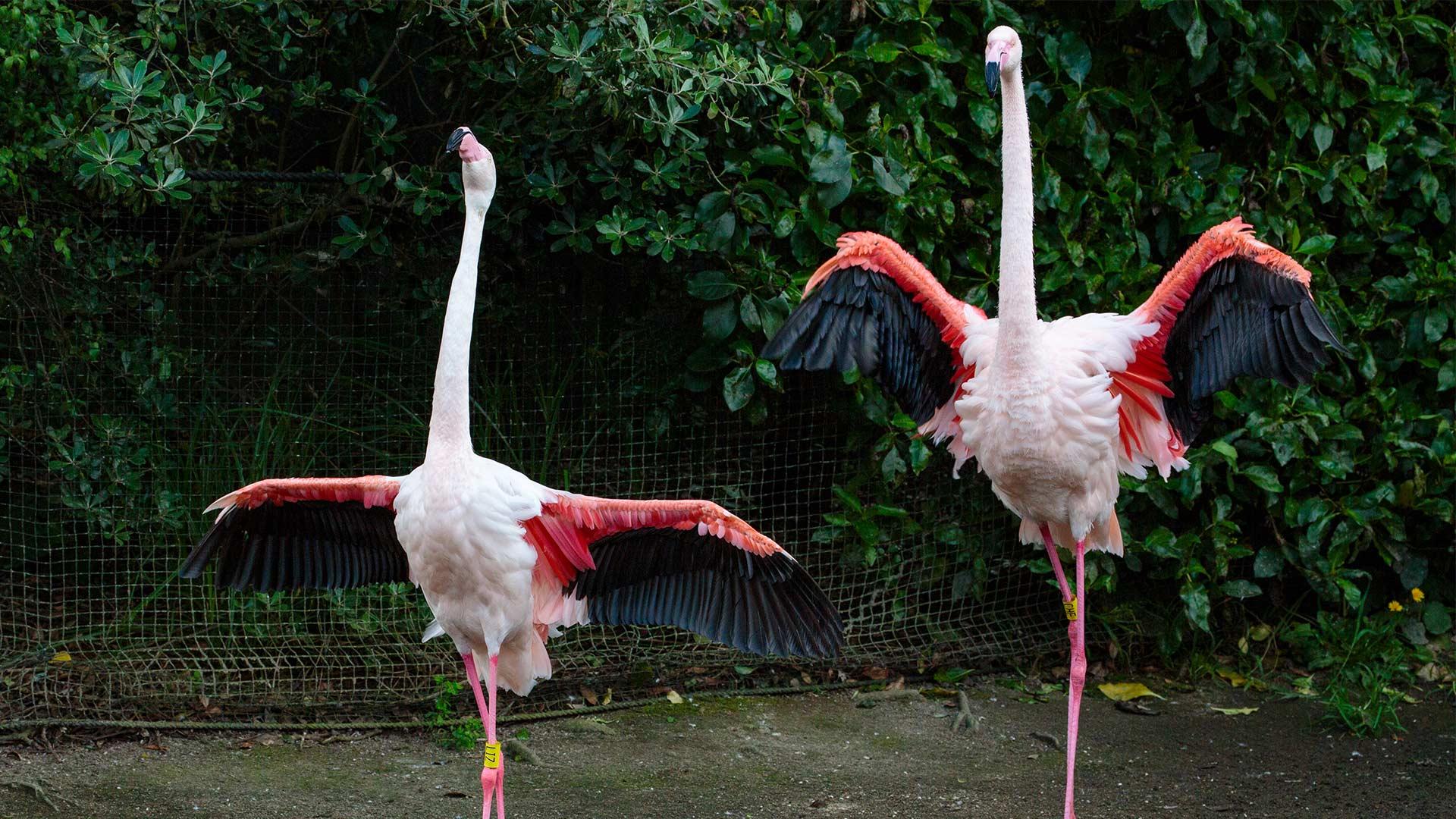 https://rfacdn.nz/zoo/assets/media/flamingo-dance-gallery.jpg
