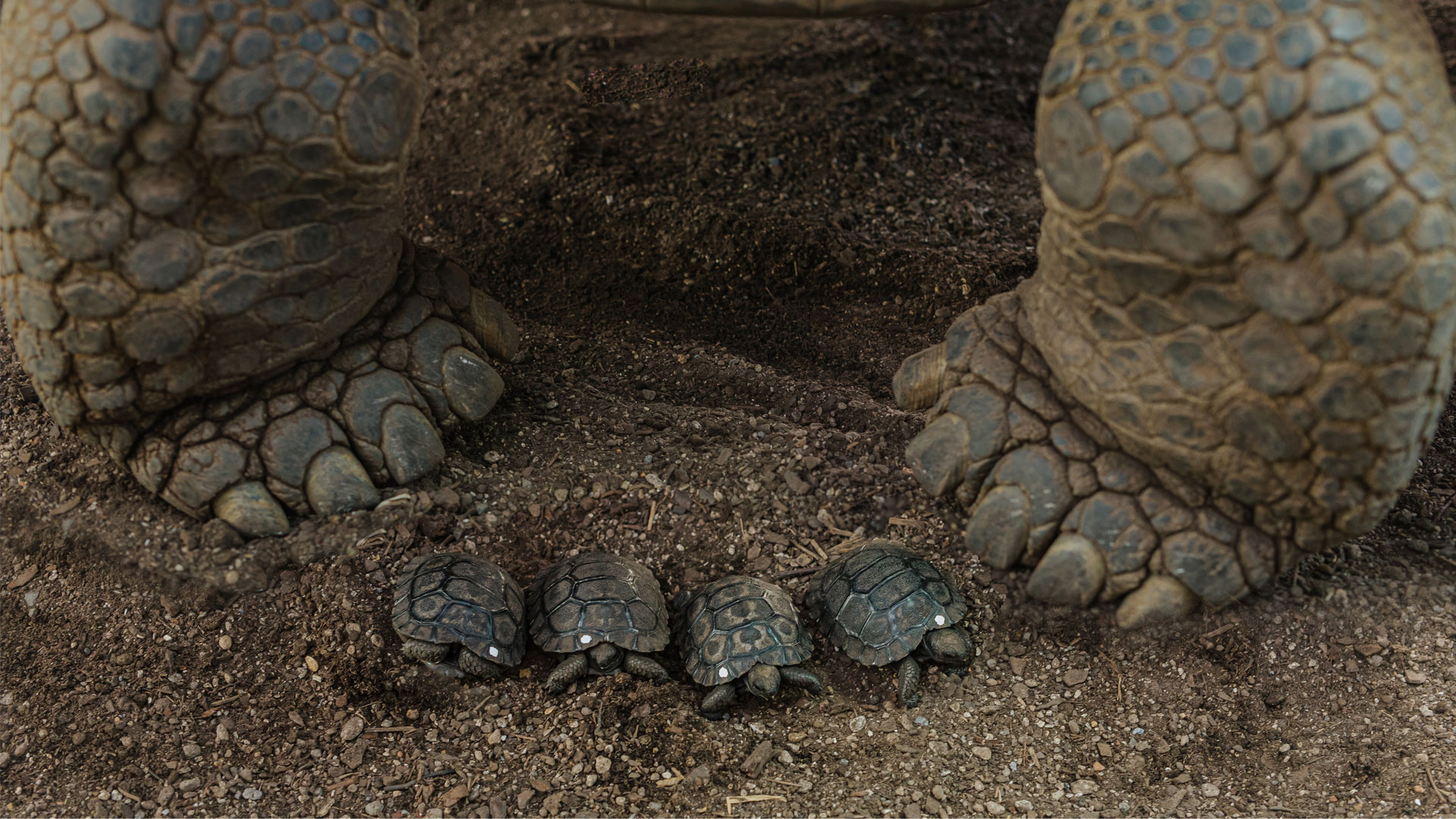 https://rfacdn.nz/zoo/assets/media/galapagos-tortoise-hatchlings-gallery-6.jpg