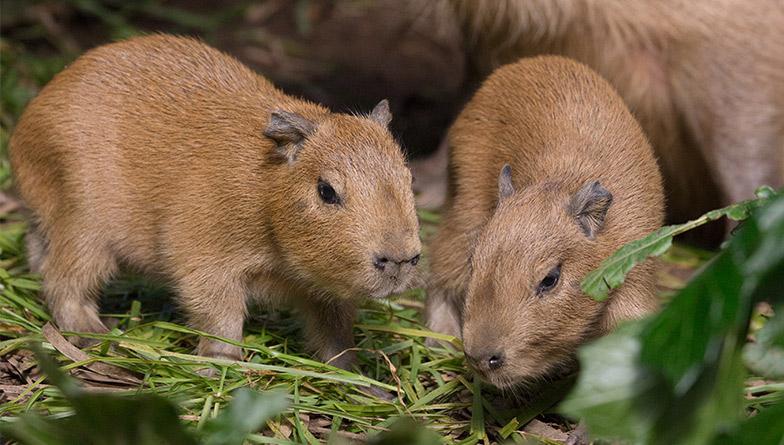https://rfacdn.nz/zoo/assets/media/generic-capybara-1-rectangle.jpg