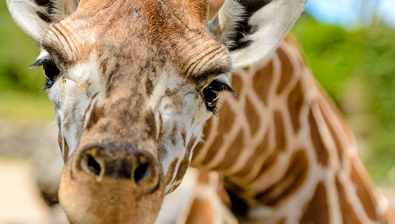 https://rfacdn.nz/zoo/assets/media/giraffe-closeup-rectangle.jpg