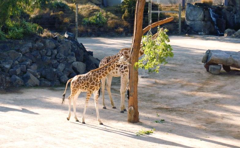 https://rfacdn.nz/zoo/assets/media/giraffe-move.jpg