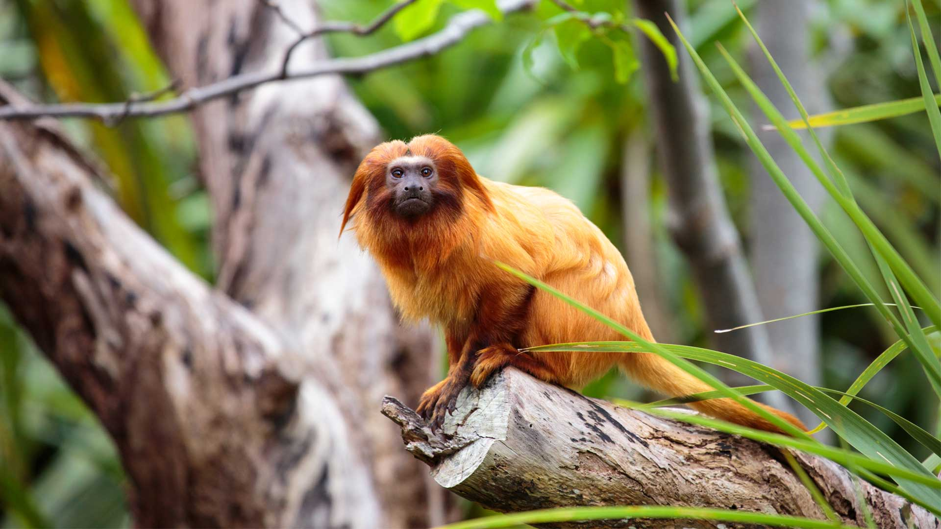 https://rfacdn.nz/zoo/assets/media/golden-lion-tamarin-gallery-2.jpg