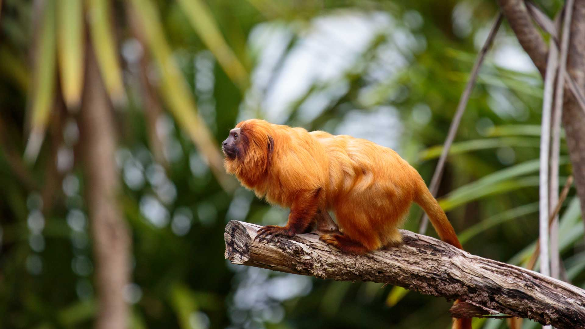https://rfacdn.nz/zoo/assets/media/golden-lion-tamarin-gallery-3.jpg