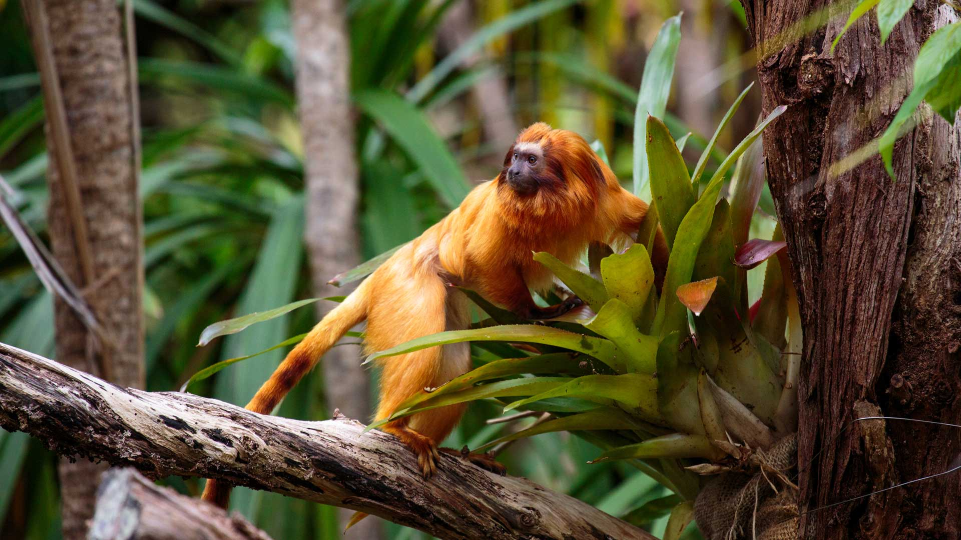 https://rfacdn.nz/zoo/assets/media/golden-lion-tamarin-gallery-4.jpg
