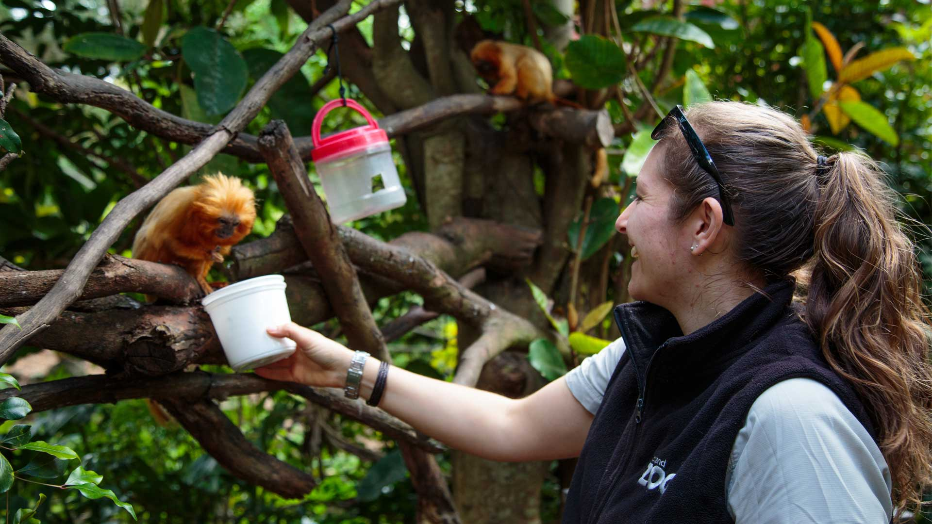 https://rfacdn.nz/zoo/assets/media/golden-lion-tamarin-gallery-5.jpg
