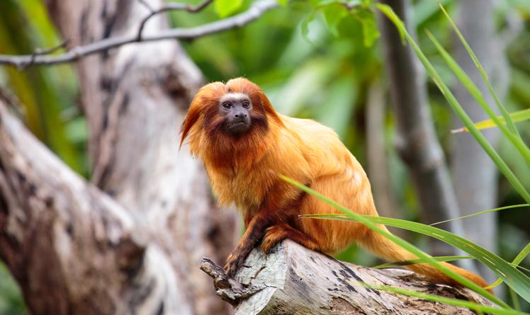 https://rfacdn.nz/zoo/assets/media/golden-lion-tamarin-gallery.jpg