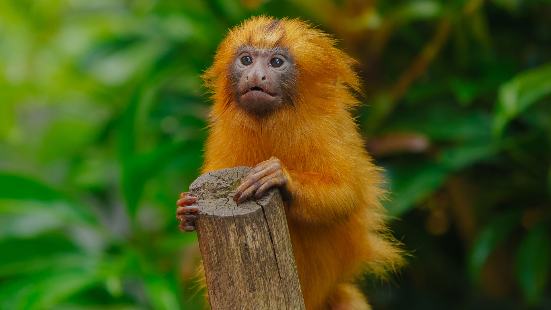 https://rfacdn.nz/zoo/assets/media/golden-lion-tamarin-twins-gallery-18.jpg