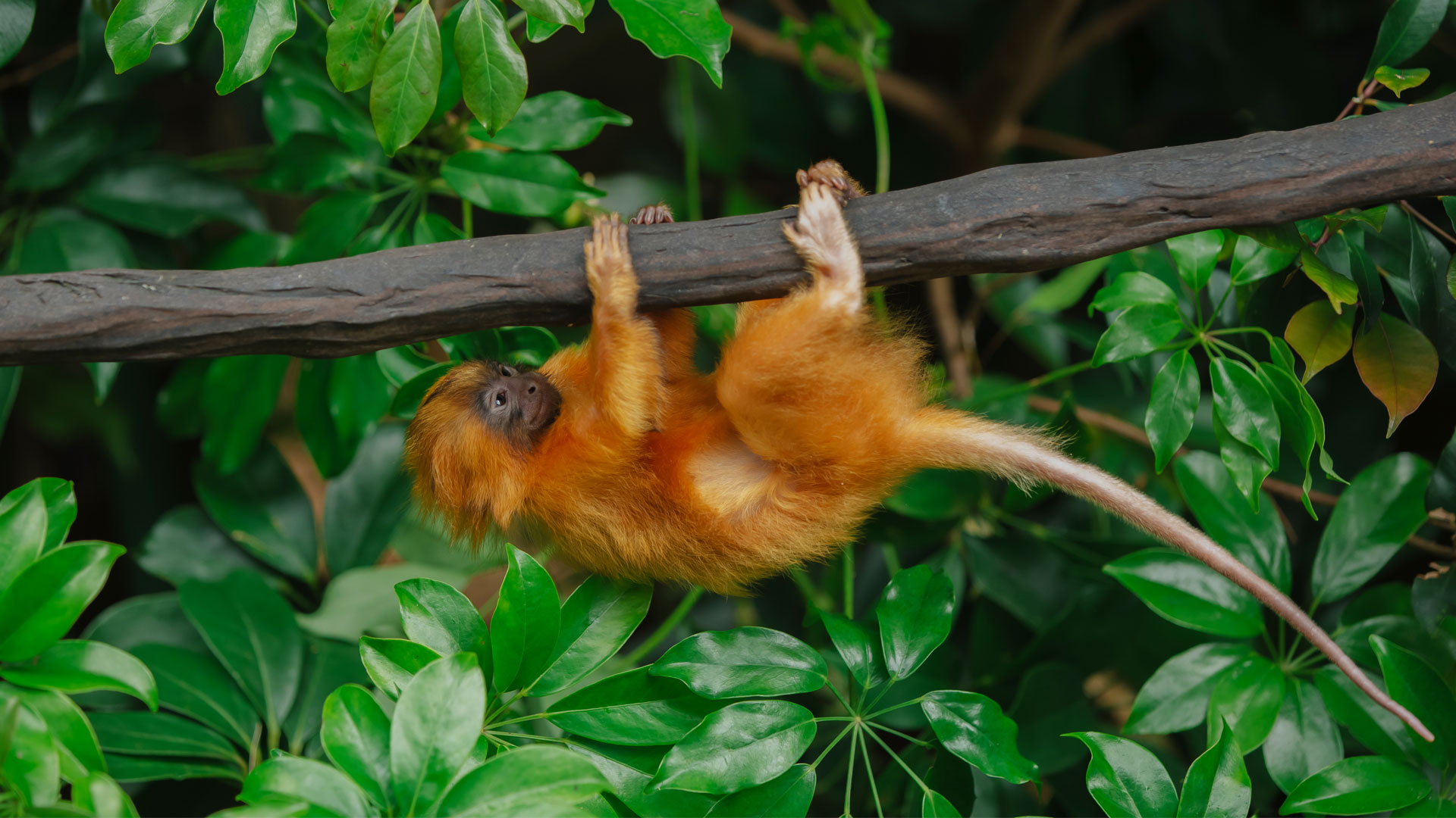 https://rfacdn.nz/zoo/assets/media/golden-lion-tamarin-twins-gallery-19.jpg