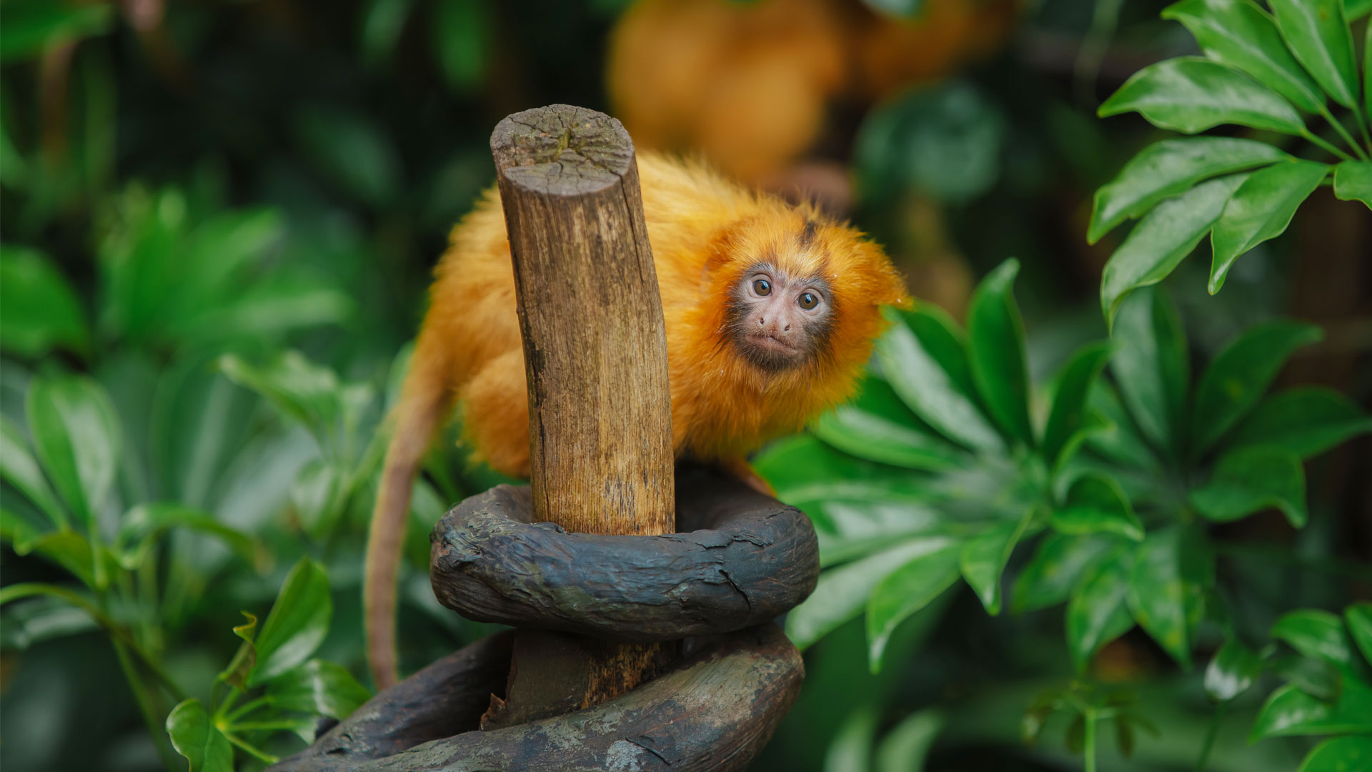 https://rfacdn.nz/zoo/assets/media/golden-lion-tamarin-twins-gallery-21.jpg