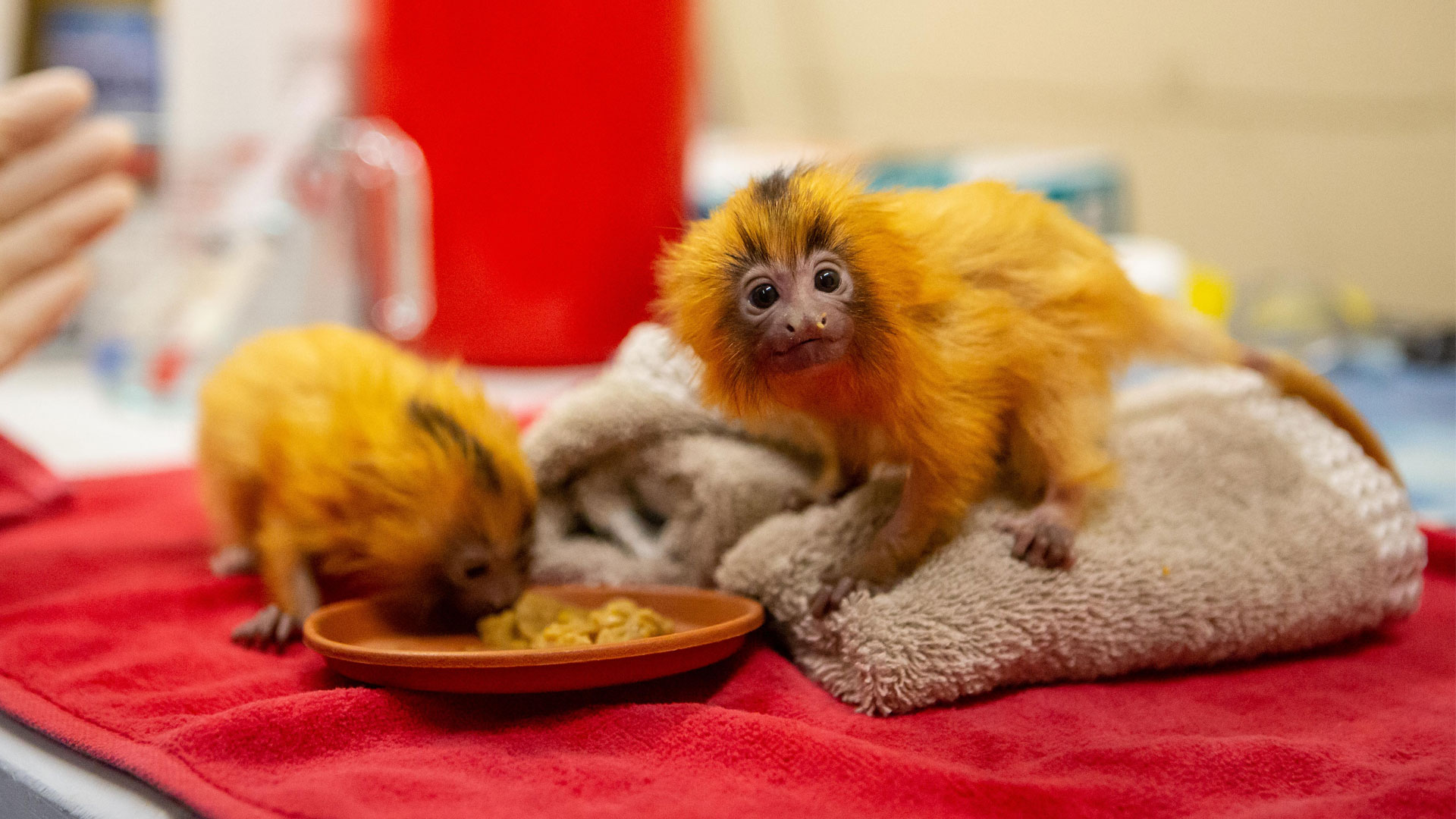 https://rfacdn.nz/zoo/assets/media/golden-lion-tamarin-twins-gallery-4.jpg