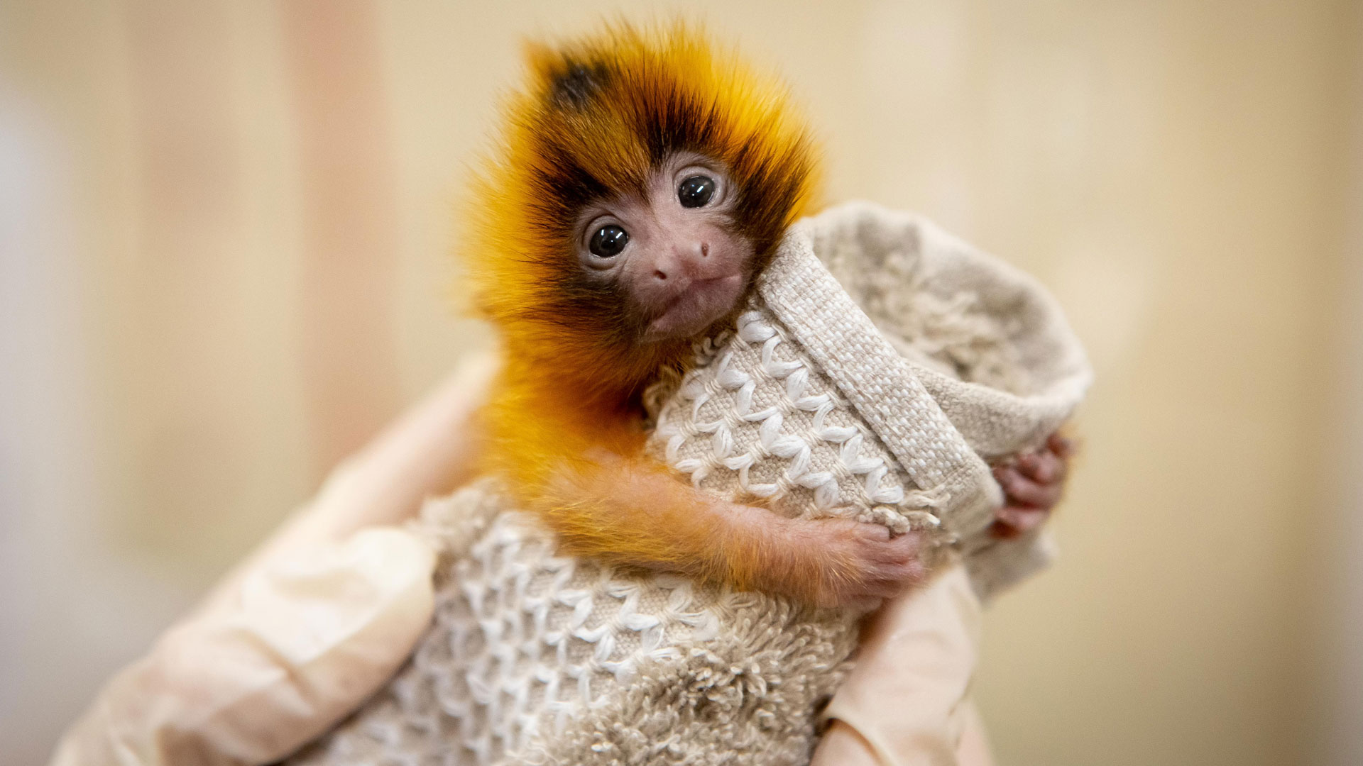 https://rfacdn.nz/zoo/assets/media/golden-lion-tamarin-twins-gallery-6.jpg