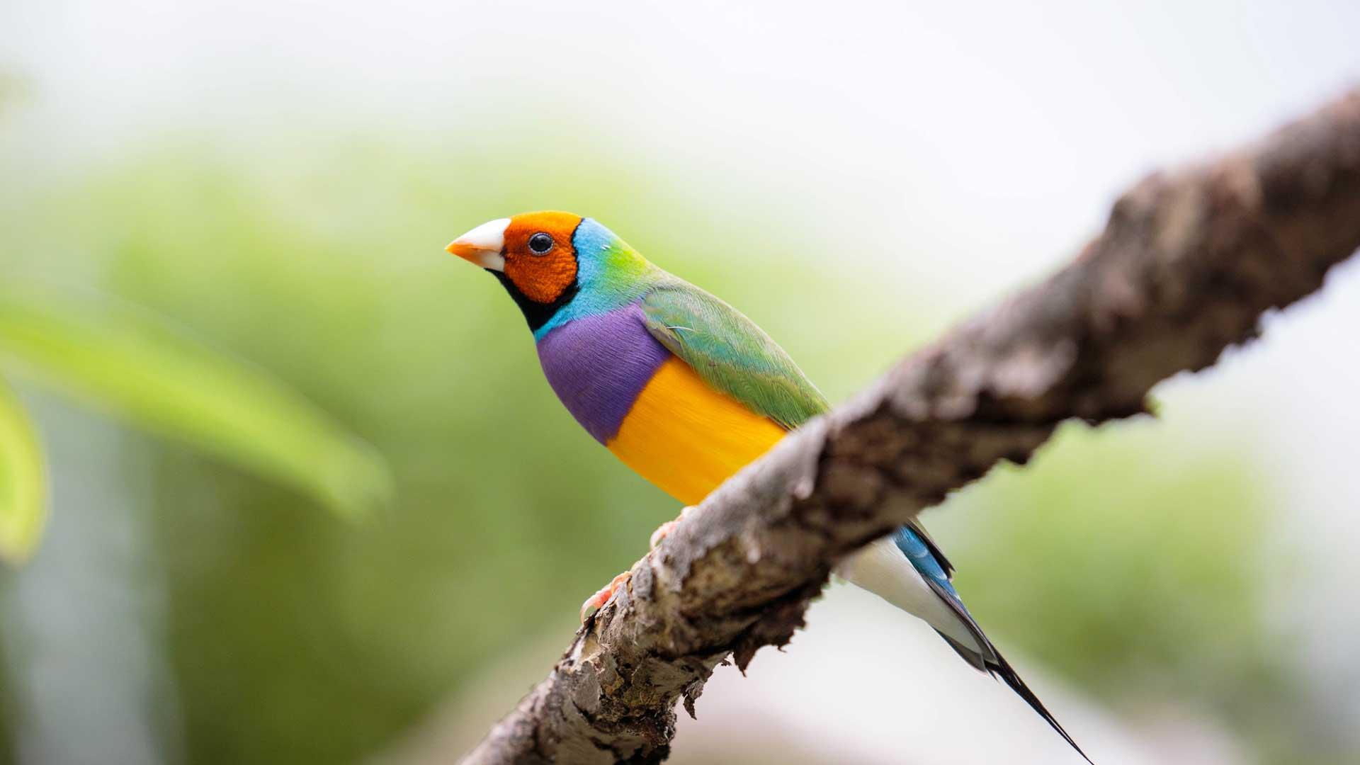 Gouldian finch | Bird Species | Auckland Zoo