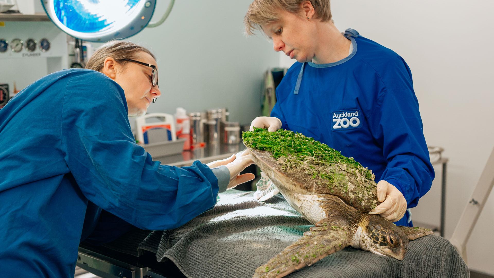https://rfacdn.nz/zoo/assets/media/green-sea-turtle-an-gallery-4.jpg