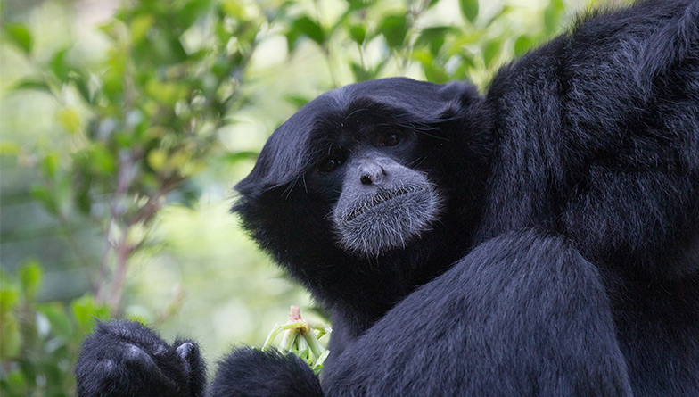 https://rfacdn.nz/zoo/assets/media/gw-s-gibbon-10-rectangle.jpg