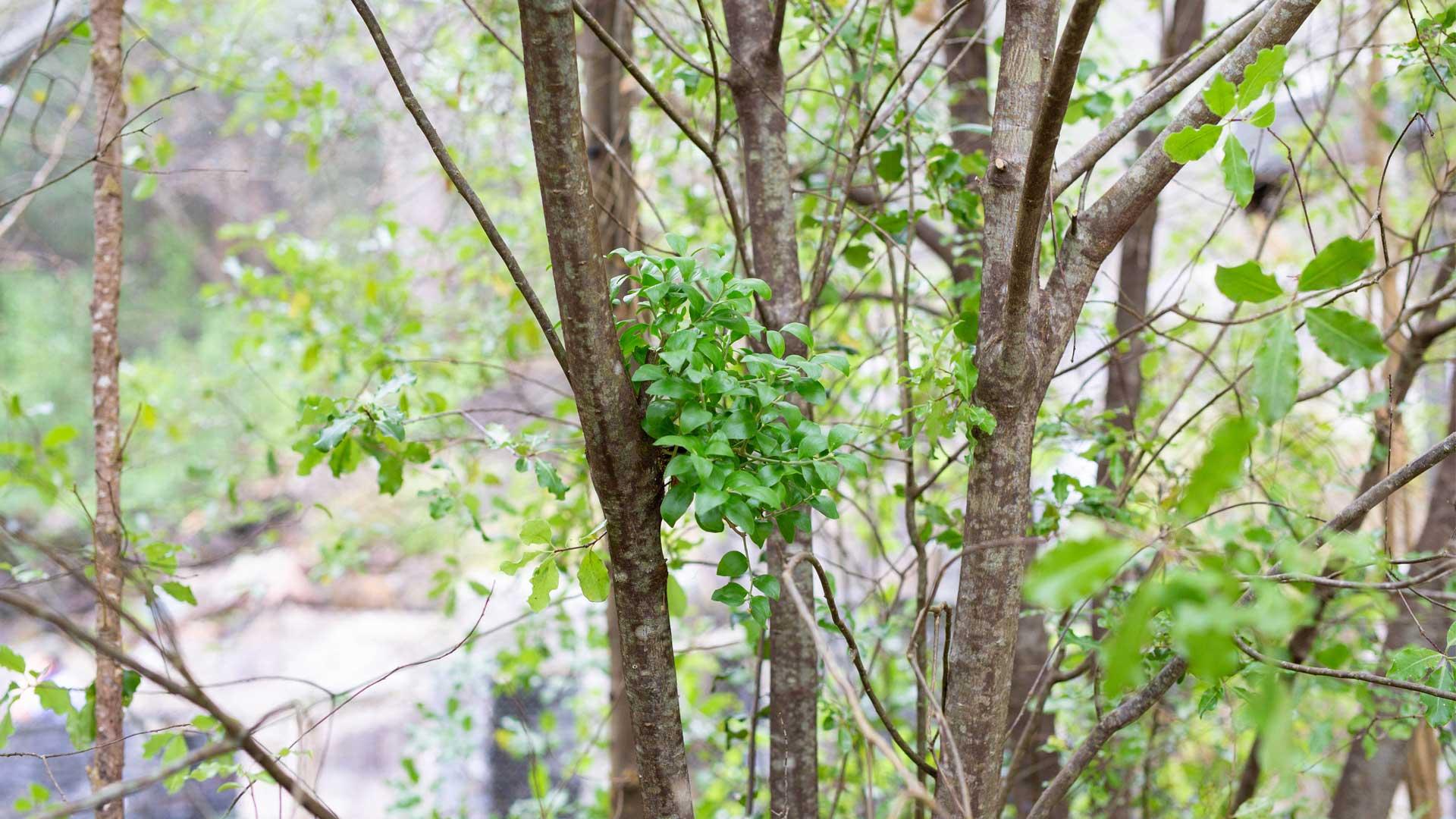 https://rfacdn.nz/zoo/assets/media/horticulture-blog-white-mistletoe-gallery-1.jpg