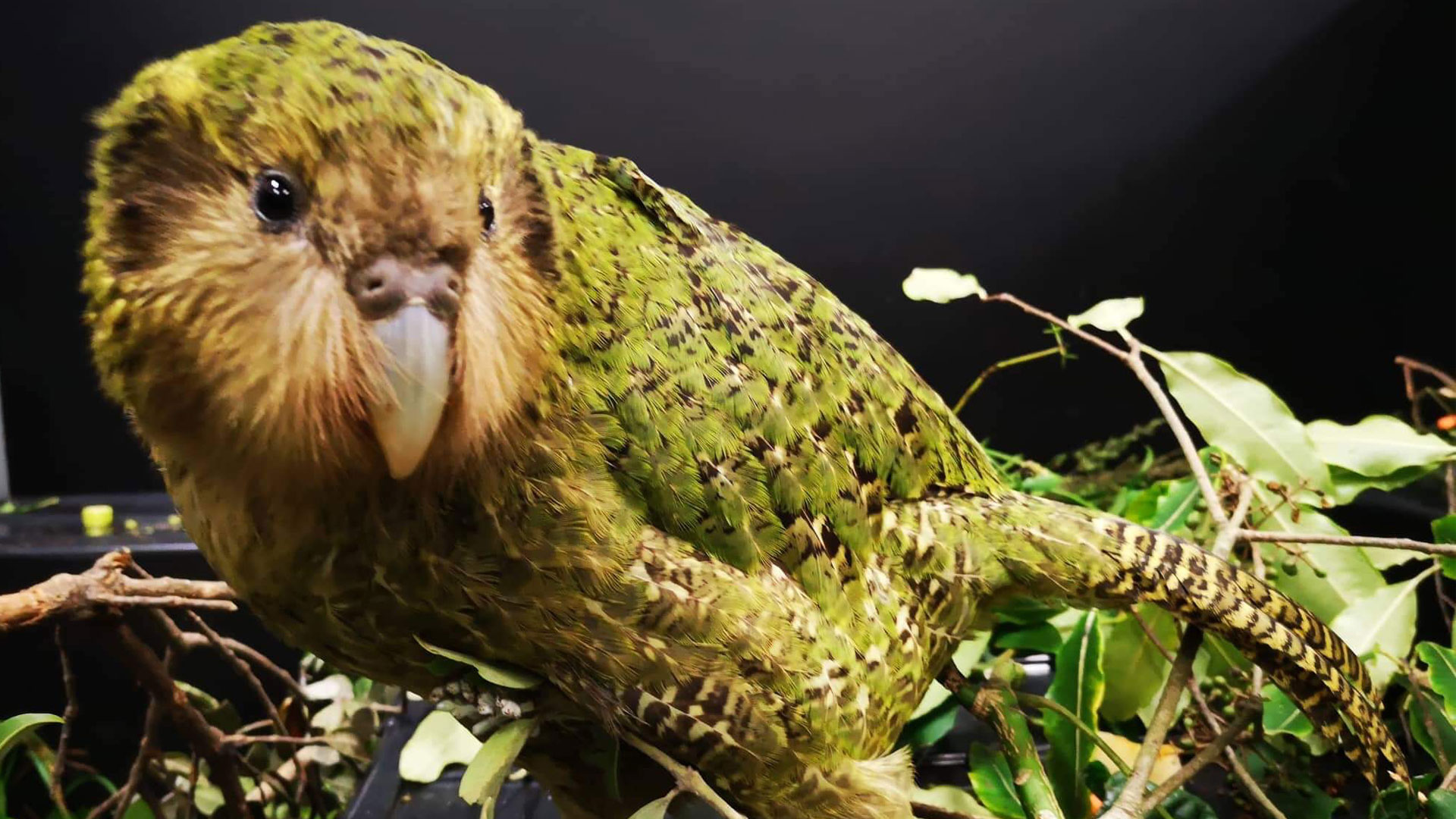 https://rfacdn.nz/zoo/assets/media/kakapo-alice-3-a-gallery-1.jpg