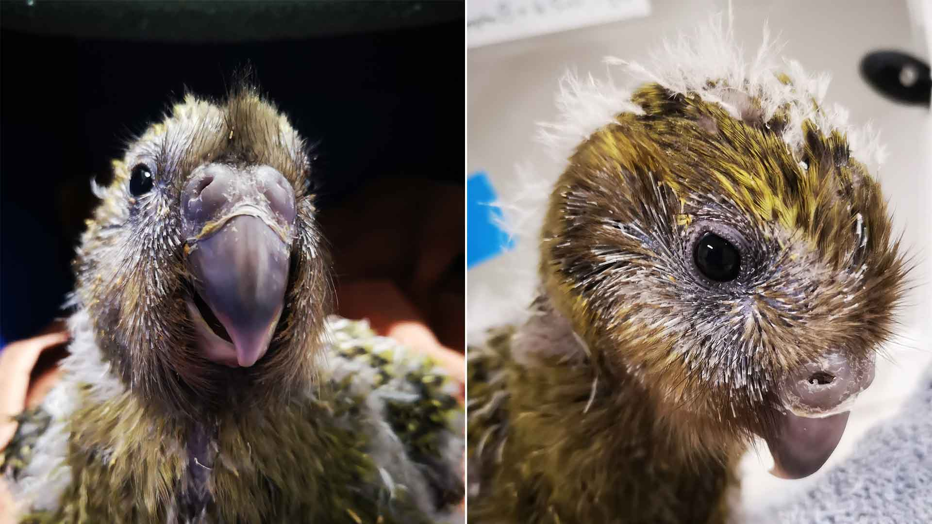 https://rfacdn.nz/zoo/assets/media/kakapo-esperg-2b-second-gallery.jpg
