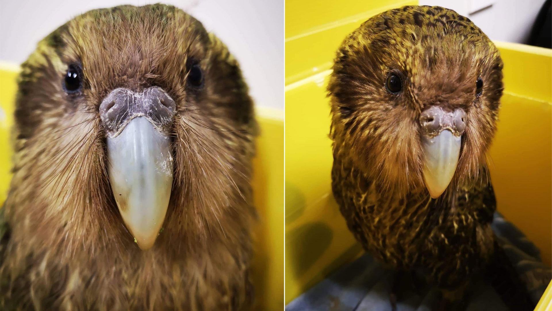 https://rfacdn.nz/zoo/assets/media/kakapo-gallery-7.jpg