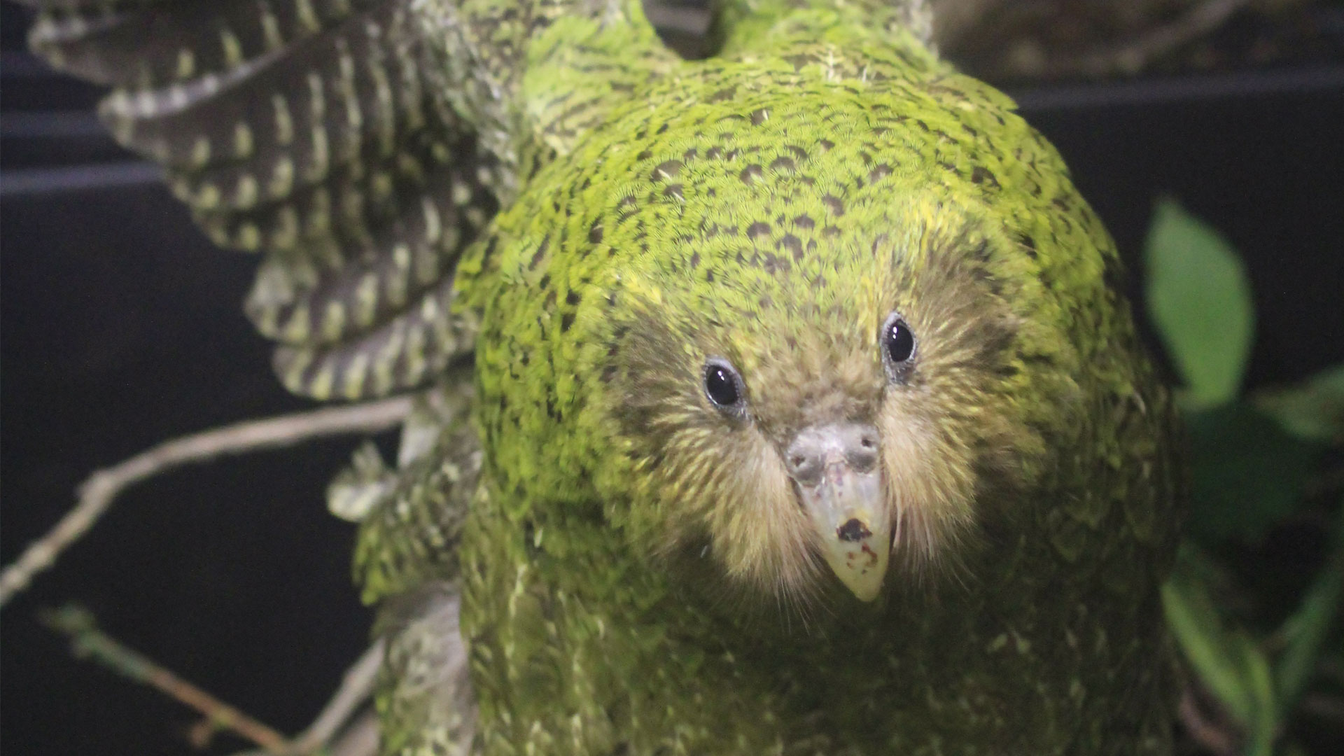 https://rfacdn.nz/zoo/assets/media/kakapo-komaru-kids-gallery-1.jpg