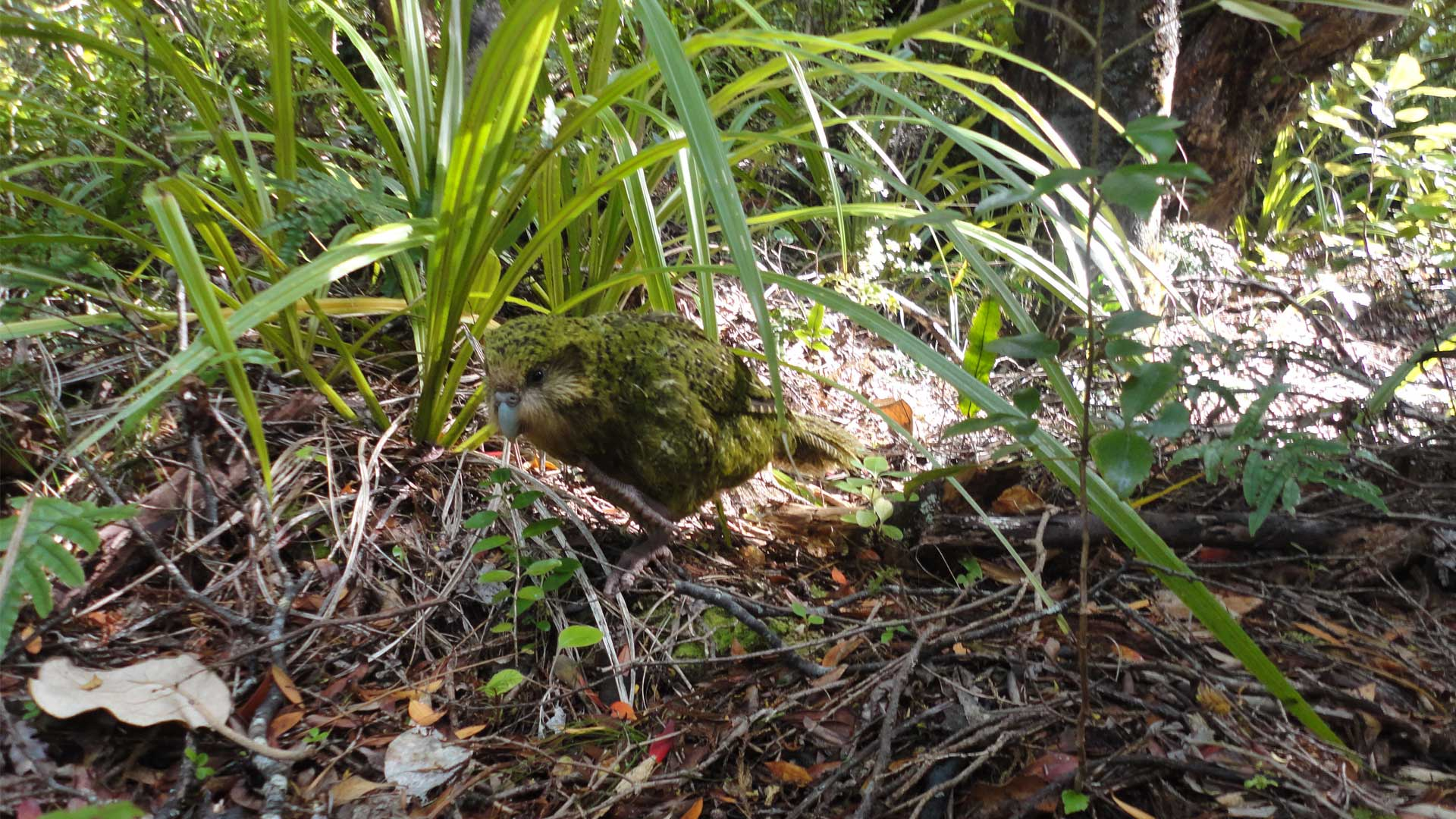 https://rfacdn.nz/zoo/assets/media/kakapo-recovery-gallery-1.jpg