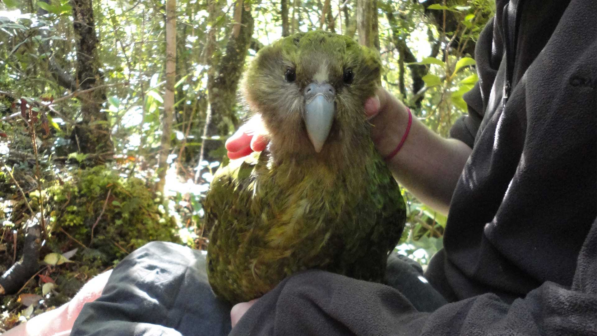 https://rfacdn.nz/zoo/assets/media/kakapo-recovery-gallery-2.jpg